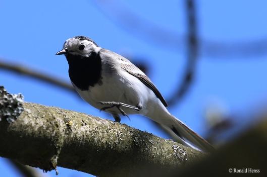 Vögel Vogelfotos Singvögel Bachstelze